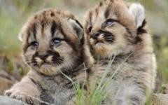 Baby-mountain-lion1-resizecrop--