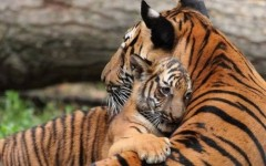 Tiger-gives-motherly-love-resizecrop--